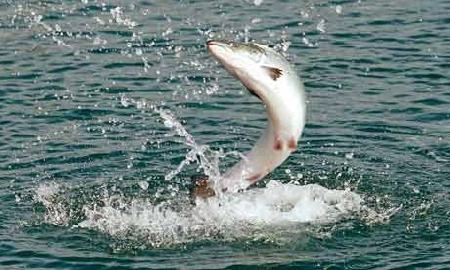 Итоги рыбоводных мероприятий по сбору инкубационного материала тихоокеанских лососей в Магаданской области в 2014 году